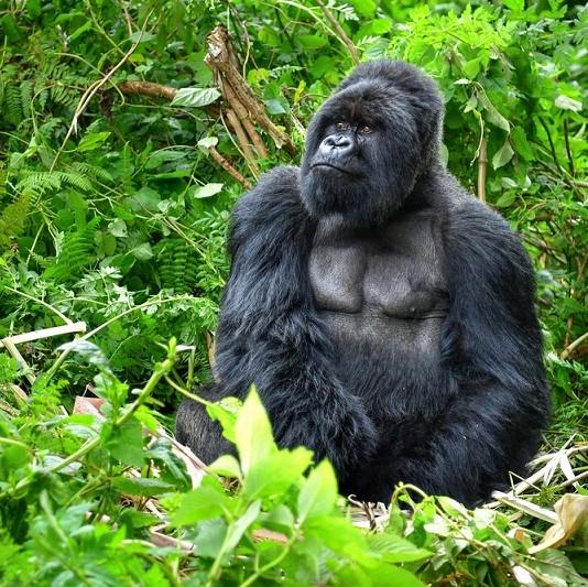 Mountain gorilla Uganda2